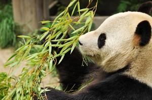 上野動物園パンダ リンリン