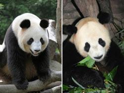 パンダの比力と仙女